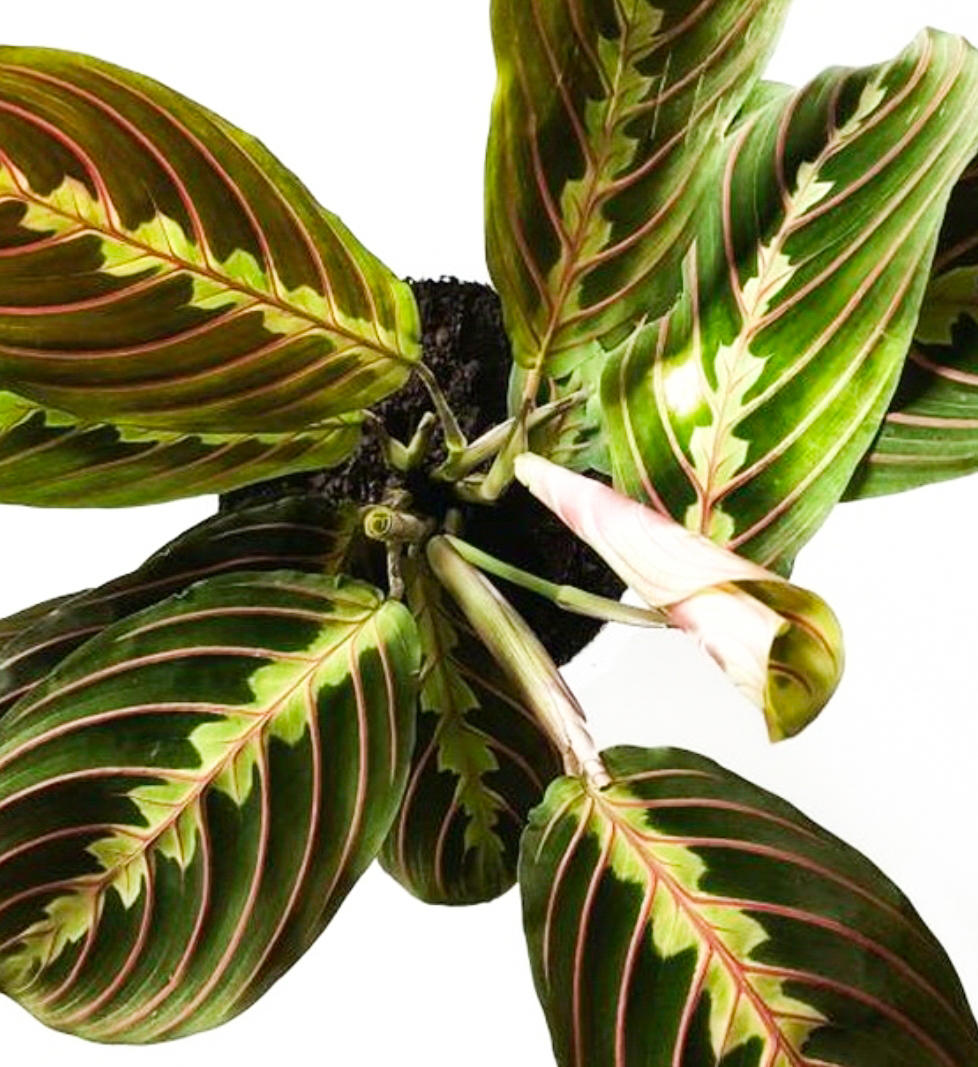 Prayer Plant Growing Tips And Tidbits