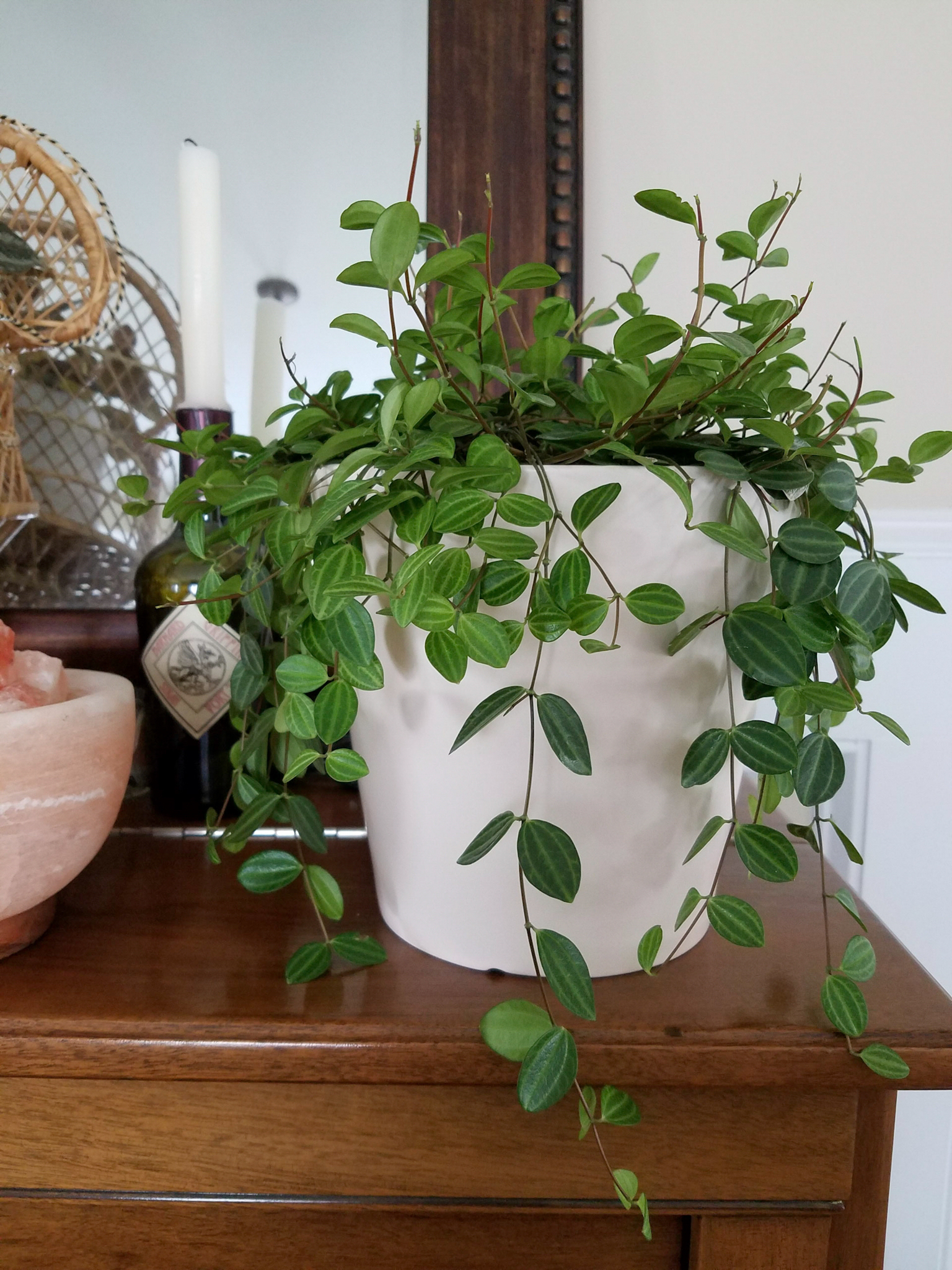 Peperomia Plant Care Page